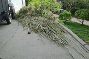 Hauling Yard Waste Bamboo Removal - Hauling