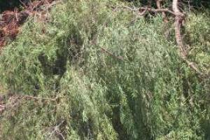 Hauling Yard Waste Overgrown Shrubs - Hauling