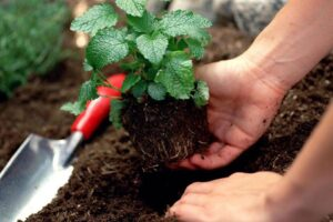 Hands planting herb into soil with gardening trowel lying on ground