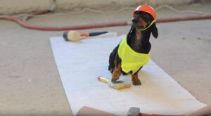 Clueless dachshund in little safety vest and hard hat.
