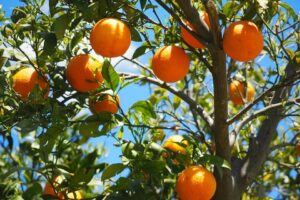 How to Grow a Citrus Tree like a Genius