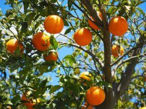 How to Grow a Citrus Tree like a Genius