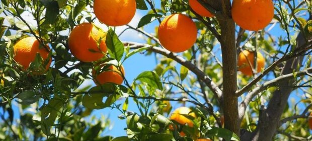 Oranges hanging from the branches of an orange tree